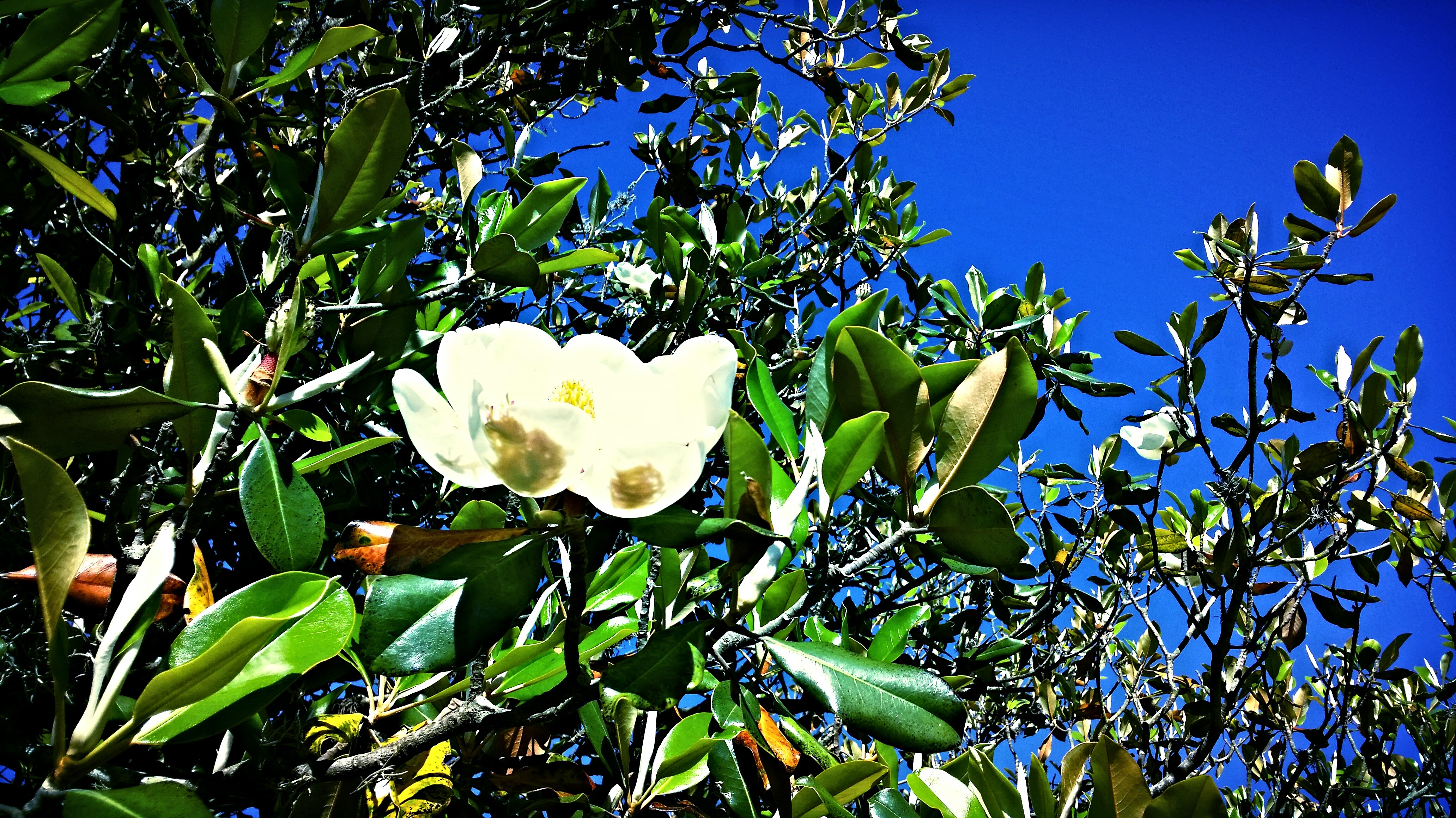 Magnolia tree in front of St. Bart's Hempstead